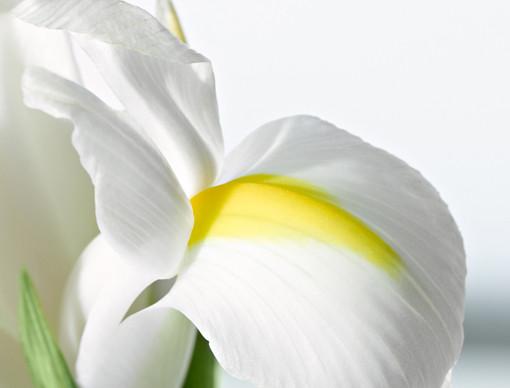 Iris Root